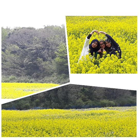 Found the most gorgeous Canola field while lost in finding the Green Tea museum .. worth the journey ^__^